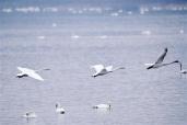美!大批白天鹅来到三门峡黄河湿地栖息过冬
