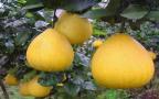 女性游客偷摘公园柚子被禁 园方:并不好吃