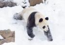 """大熊猫""""戏""""雪卖萌"""