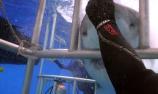 潜水员徒手解救大白鲨