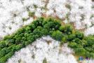 贵安新区万亩樱花绽放