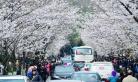 南京:春分时节赏樱花 游人众多
