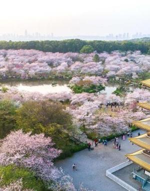 武汉:三月春盛 烟霞樱花人不归
