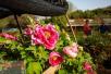 牡丹文化节期间 洛阳各大牡丹观赏园推出诸多精彩活动