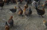 东兰鸿福地土鸡,创新东兰新起点,打造产业扶贫新业态