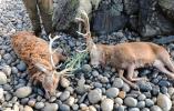 【组图】心痛!苏格兰海滩惊现两赤鹿尸体 鹿角缠绕绳索