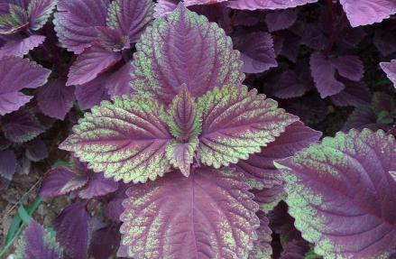 紫苏收割帮扶致富