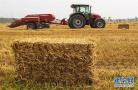 小麦丰收 秸秆变宝