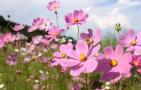 钟山风景区有15种夏日菊科花卉,波斯菊、松果菊等很美
