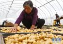 河北张北:马铃薯产业化发展富农家