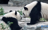 """双胞胎姐妹今起入住大熊猫馆 北京动物园国宝""""十全十美"""""""