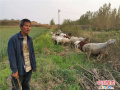"""河南鲁山县吴太平:勤奋""""羊倌""""脱贫了"""