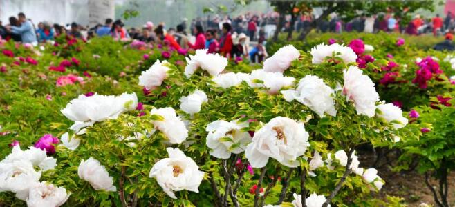 『菏泽牡丹』山东菏泽牡丹:一朵花的力量