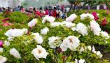 山东菏泽牡丹:一朵花的力量