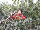 河南寶豐:富硒冬桃喜豐收 農戶心裏比蜜甜