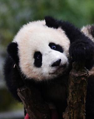 大熊猫猴子宝宝迎新年