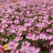 鄱阳湖紫云英