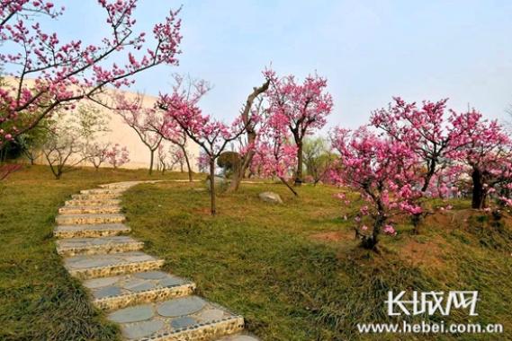 30余种春花植物连片盛开 石家庄植物园游园正当时