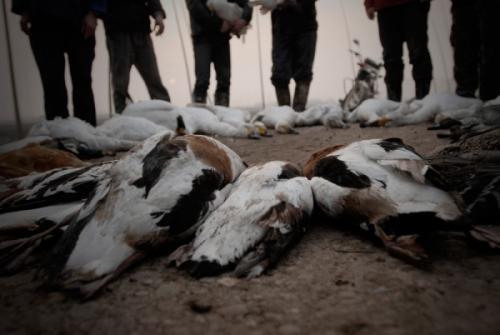 国搜头条 内蒙古锡林郭勒盟正蓝旗233只小天鹅和26只绿头鸭被人为投药