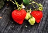 沛县草莓采摘季,朱乔草莓供不应求
