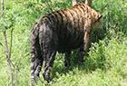 南京老虎被染成黑虎