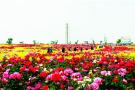 青岛灵山玫瑰节即将启幕 十余项精彩活动正式发布
