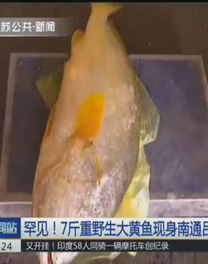 罕见!7斤重野生大黄鱼现身南通 卖出六万元高价