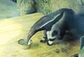南美怪兽来了?两雌两雄大食蚁兽安家郑州动物园
