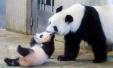 熊猫宝宝香香首亮相令日本疯狂 园方盼带来23亿