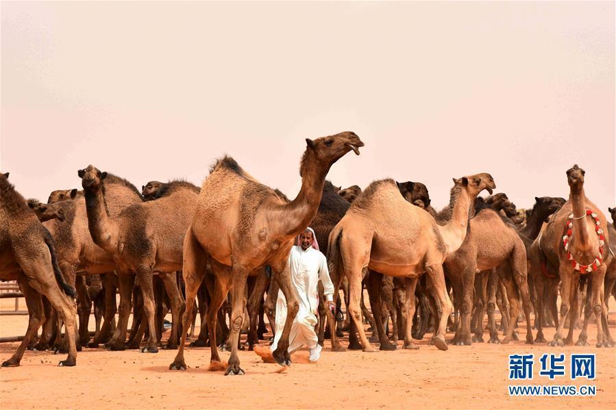 网上赌博平台网址:惊呆!打肉毒杆菌?沙特骆驼选美也有作弊的