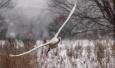 三门峡:天鹅雪中舞翩翩