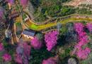 哈尼山寨樱花盛开
