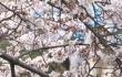 日本樱花季:各地方政府出招引中国游客