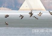 昨日松花江哈尔滨段几十只野鸭在江面追逐嬉戏