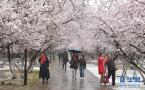 塞外桃花浴春雪