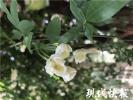 枝如瀑花如星!南京有几处木香花海,再不去打卡就晚啦