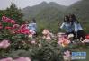 这里10年前是汶川地震重灾区 如今变成玫瑰谷