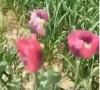 政府大院种满罂粟花