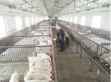 漯河:猪肉价格大幅下降 部分养殖户亏损