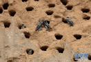 数千只崖沙燕筑巢