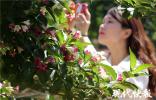 """""""灌木""""变""""乔木"""" 300亩五彩锦带花开似锦"""