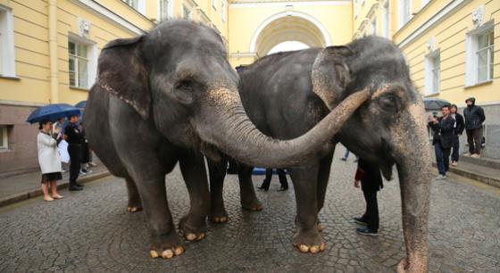马戏团大象亮相圣彼得堡街头表演