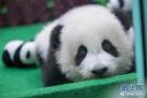 """熊猫宝宝""""凉凉"""""""