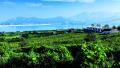 青岛大泽山壮大葡萄旅游产业 走出乡村振兴特色路