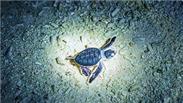 海南三沙 西沙洲发现成功孵化的小绿海龟