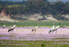 鄱阳湖迎来越冬灰鹤
