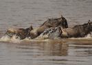 实拍非洲角马大迁徙