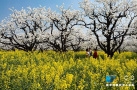 河南原阳:梨园双花开 春色大不同