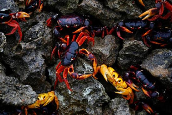 """古巴猪湾被""""占领""""!""""入侵者""""原来是这些螃蟹"""