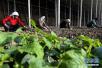 山东寿光:扶贫蔬菜产业园助力群众脱贫